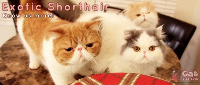 เอ็กโซติก ช็อตแฮร์ (Exotic Shorthair)