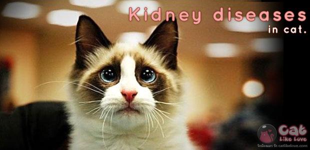 โรคไต...มหันตภัยเงียบคุกคามแมว