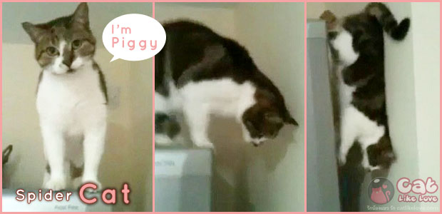 สไปเดอร์แมว...สุดยอดกายกรรม