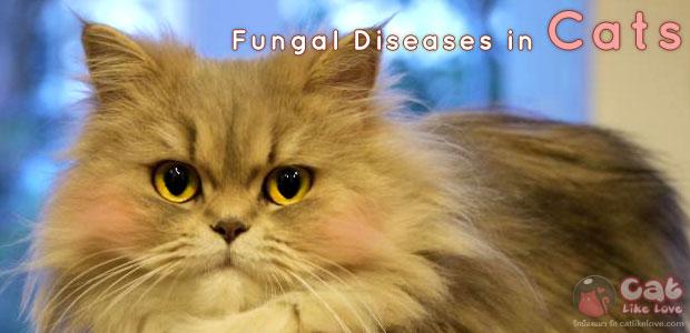 [DIS] เชื้อราในแมว กันไว้ดีกว่าแก้ เป็นแล้วรักษาได้ !!!