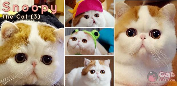[News] เกาะกระแสแมวสนูปปี้ (snoopy) แมวไม่ธรรมดา...ดังจนได้ออกทีวี !!!