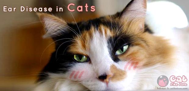 [Dis] อ๊างงง...น้องแมวคันหูทำไงดี !!!