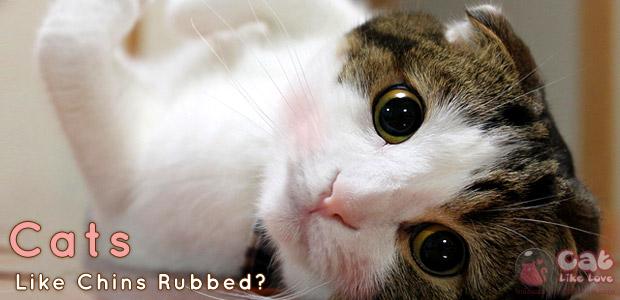 [Knw] ทำไม(ส่วนใหญ่)น้องแมวชอบอ้อนให้เกาคาง ไม่ชอบให้เกาพุง???