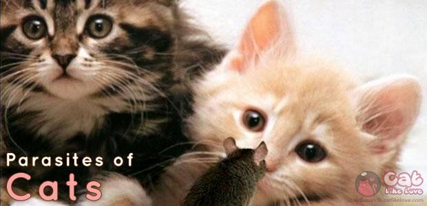 [Dis] ทำความรู้จักกับโรคพยาธิในแมว กันไว้ดีกว่าแก้!!!
