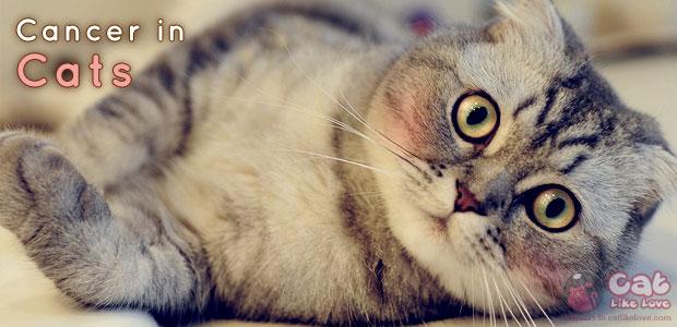 [Tips] วิธีตรวจโรคมะเร็งในน้องแมว!!!