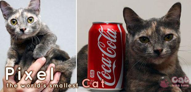 [News] พิกเซล!!! แมวสูง 5นิ้ว...เล็กที่สุดในโลก