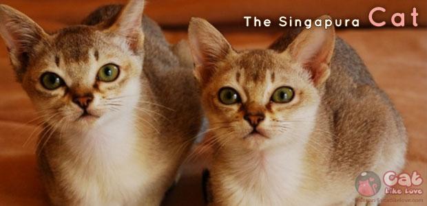 [Knw] มารู้จัก!!! สิงกะปุระ แมวพันธุ์เล็กที่สุดในโลก