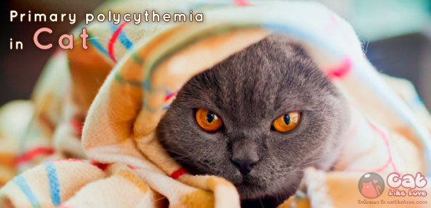 [Dis] โรคภาวะเม็ดเลือดแดงเข็มข้นในแมว คืออะไร??