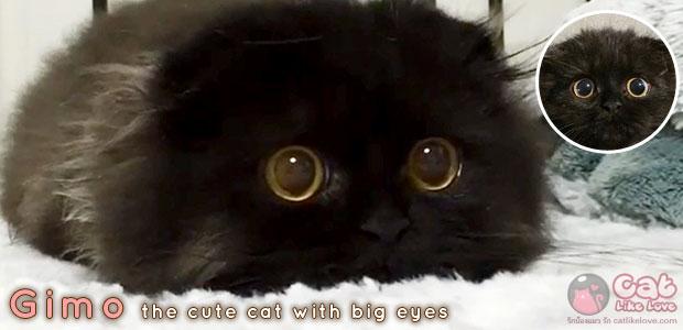 [News] Gimo แมวแบ๊วตาโต๊โต