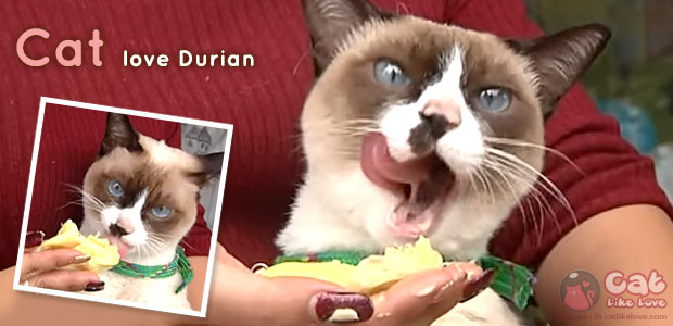 [News] น้องแมวชอบหม่ำๆทุเรียน...หย่อยจัง